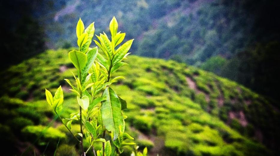 Ekstrakt z zielonej herbaty może zapobiegać rakowi prostaty